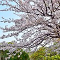 Photos: 農家の桜