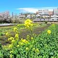 Photos: 菜の花中央線