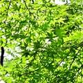 Photos: 新緑もみじ