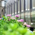 Photos: 紫陽花の季節