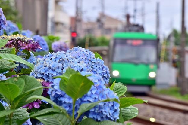 Photos: あじさい沿線(6)