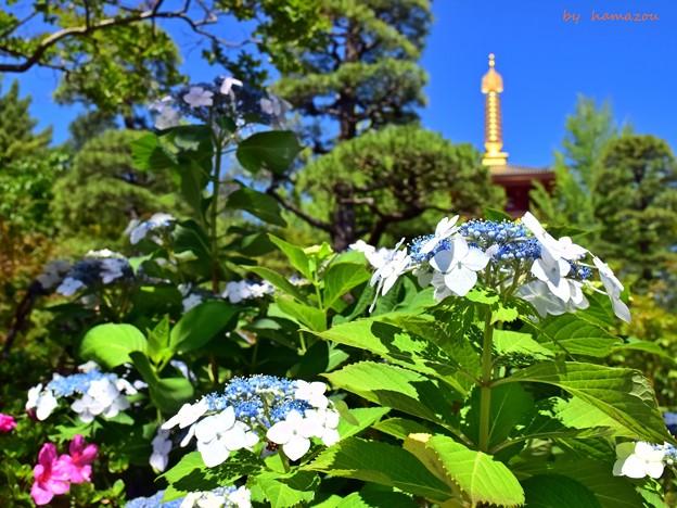 五重塔と紫陽花