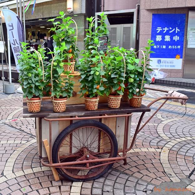 Photos: ホオズキ