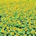 Photos: Sunflowers