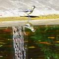 水面の小鳥