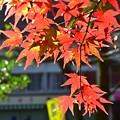 Photos: 高尾山もみじ
