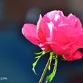 君は薔薇より…