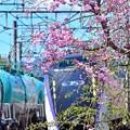 平成枝垂れ桜