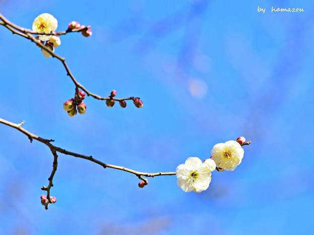 早春の白梅