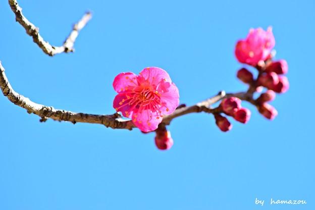 早春の紅梅