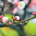 Photos: つぼみ