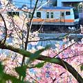 神田川沿い河津桜