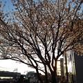 Photos: 朝陽の桜