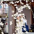 枝垂桜に包まれて