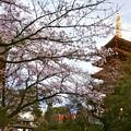 Photos: 夕暮れ桜