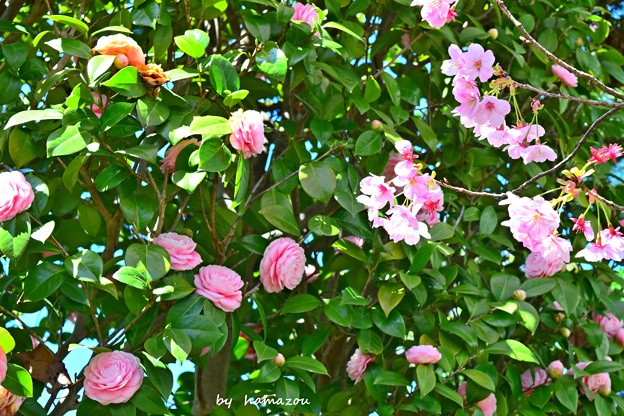 Camellia and Cherry Blossoms