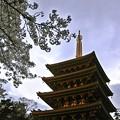 Photos: たそがれ桜