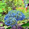 弁天池の紫陽花