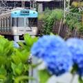 Photos: あじさい電車