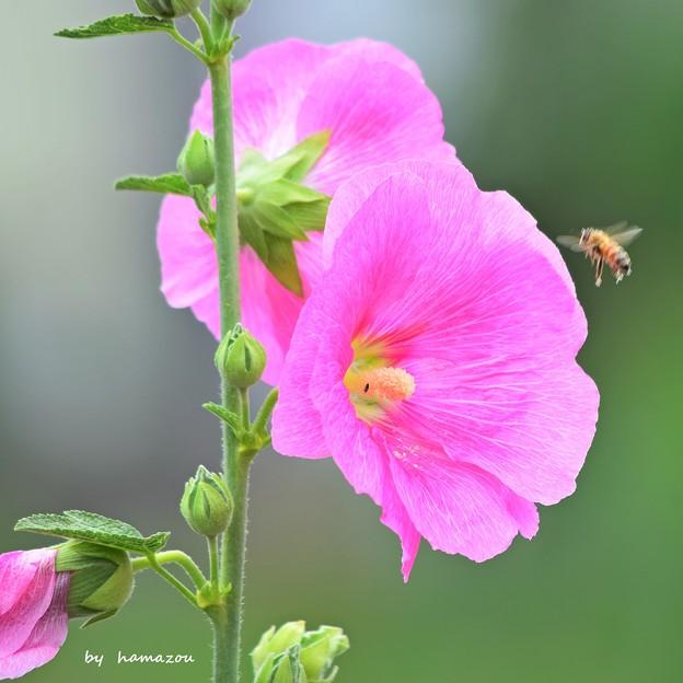 Pink Honey