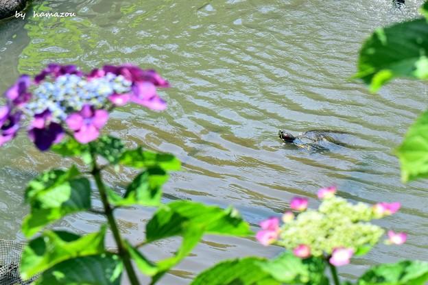 弁天池の亀さん