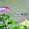 Photos: 弁天池の亀さん