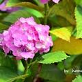線路沿いの紫陽花