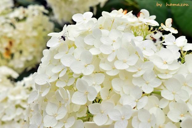 Ants in white hydrangea