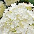 Photos: Ants in white hydrangea