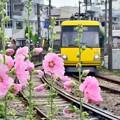 Photos: 立葵が咲く頃