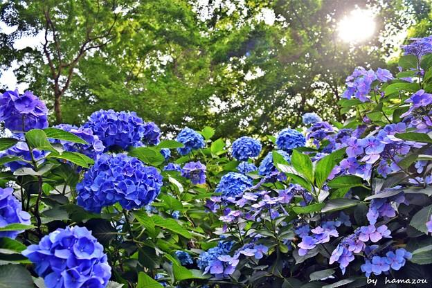 陽光の紫陽花