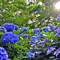 Photos: 陽光の紫陽花