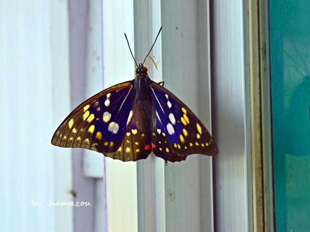 美蝶々~♪