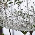 Photos: 雨滴ハンモック