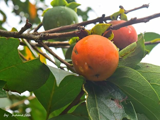 秋彩の柿を
