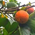 Photos: 秋彩の柿を