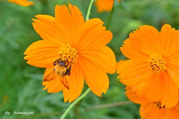 Photos: 秋の蜂