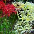 Photos: 二つの彩花