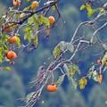 秋のヒヨちゃん