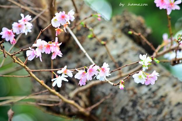 立冬、桜咲く