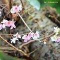 Photos: 立冬、桜咲く
