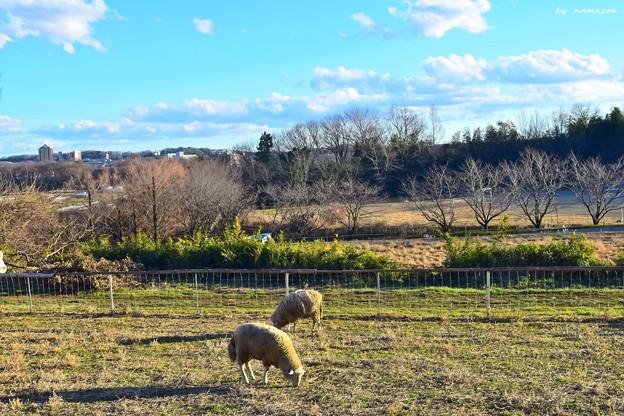 元旦羊もいる牧場