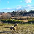 Photos: 元旦羊もいる牧場