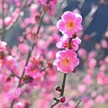 Photos: 紅梅咲く♪