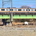 Photos: ダイサギと中央線