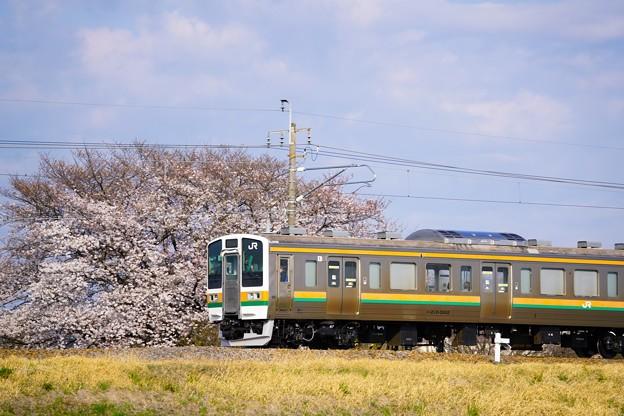 Photos: 車内から見る桜はどうですか? 211系@イセコマ