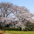 写真: 桜と湘南色ラストコラボ!?@イセコマ