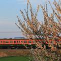 写真: 梅と共に去りぬ~高崎115系最後の春