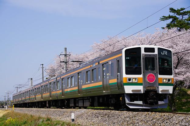 211系満開の桜並木を走る