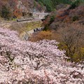 211系@桜の諏訪峡
